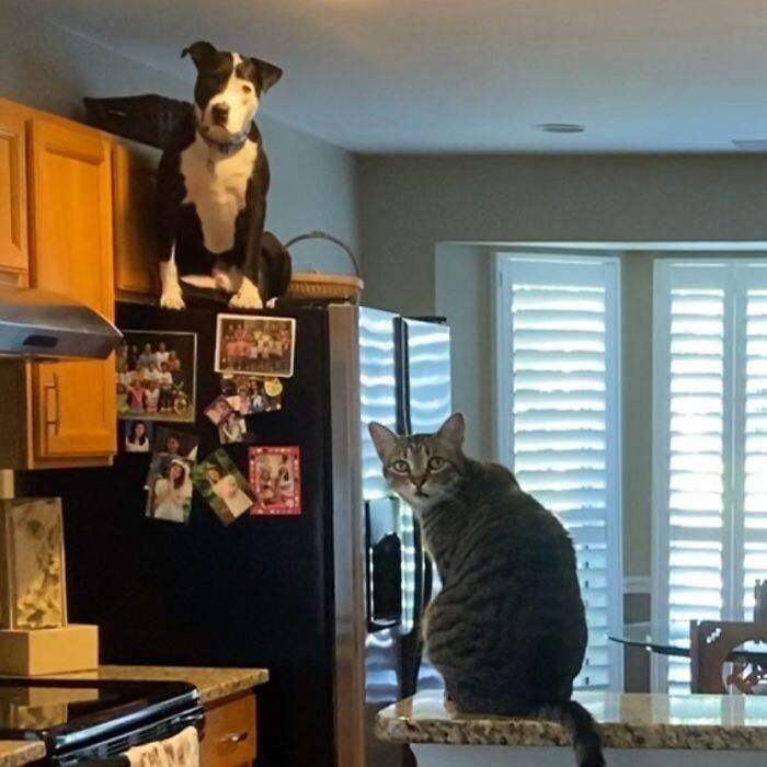 Питбуль живет среди котов, и считает себя одним из них. ФОТО