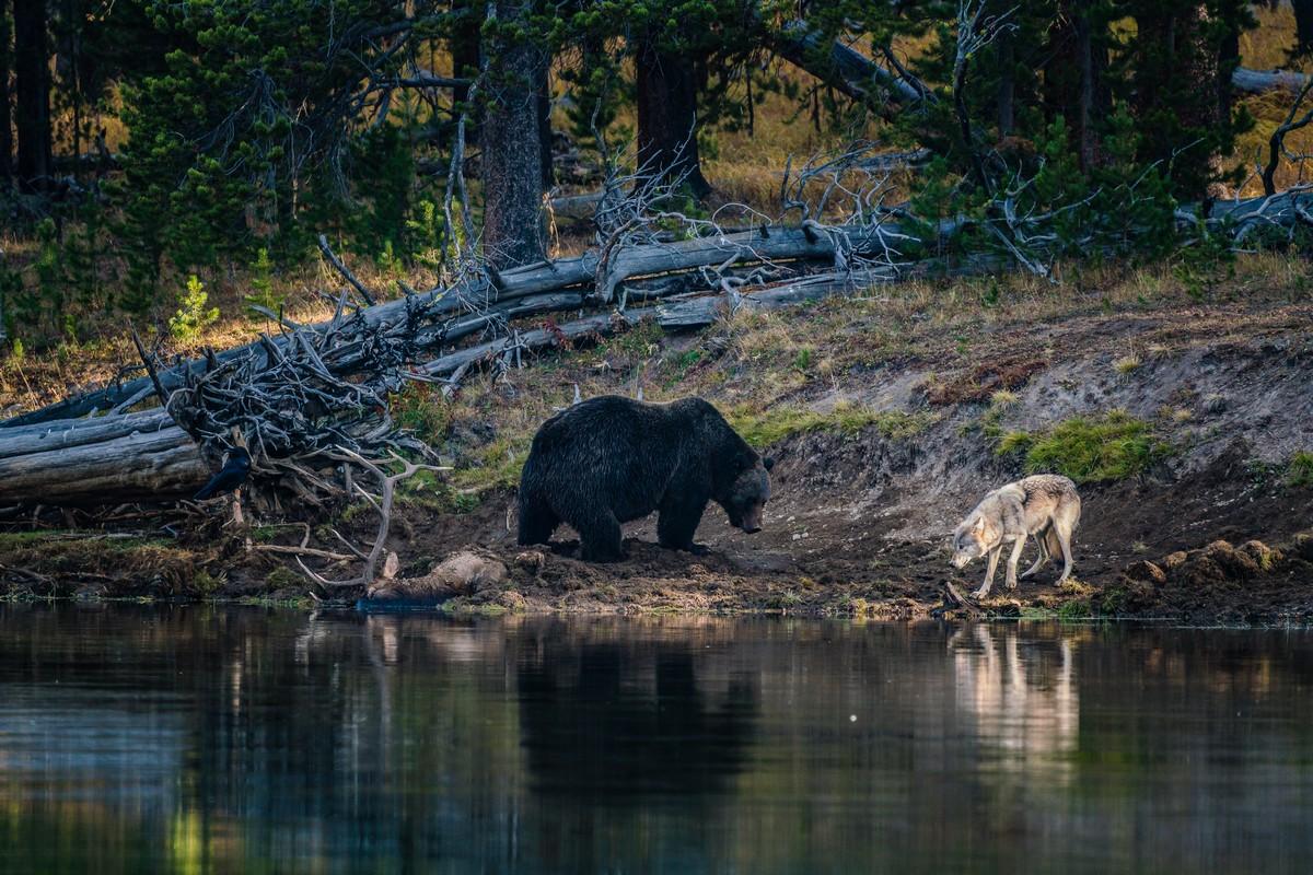 Голодный волк хотел утащить добычу у медведя