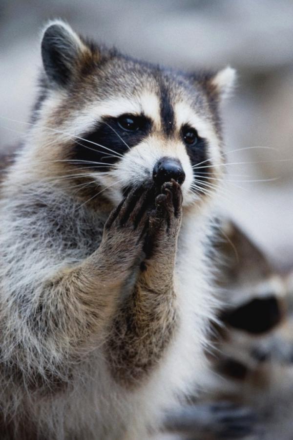 Еноты продолжают удивлять. 10 забавных снимков (ФОТО)