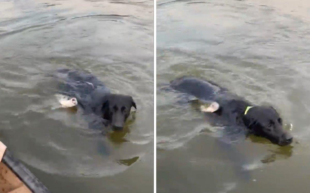 Видео, на котором рыба атаковала плывущего пса, набирает популярность в Сети