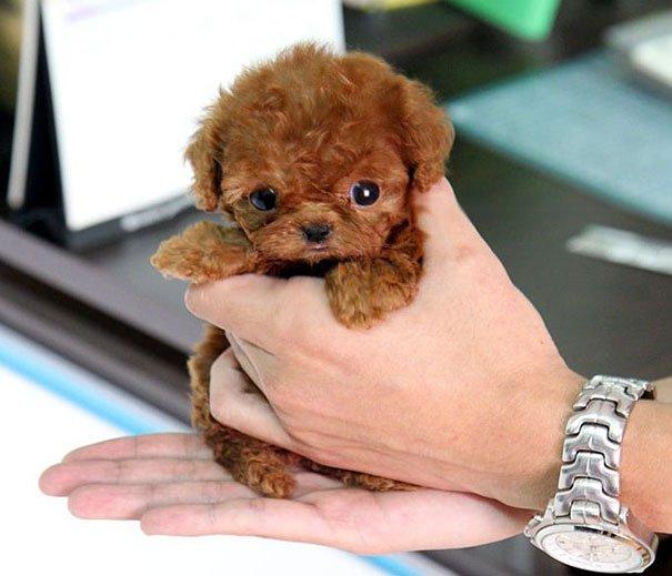 Очаровательные щенки, похожие на плюшевых мишек (ФОТО)