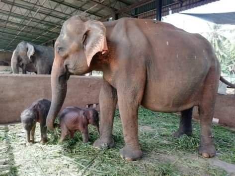 На Шри-Ланке впервые за 80 лет родились слоны-близнецы (ВИДЕО)