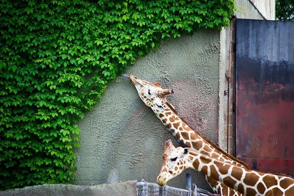 Животные, которые любят поесть (ФОТО)